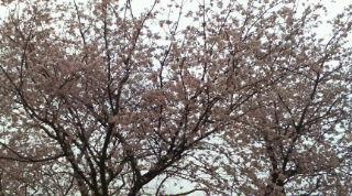 桜満開?!
