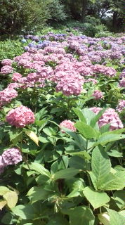 紫陽花公園