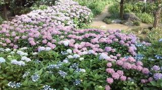 紫陽花の海〜