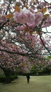 3Dっ、八重桜!